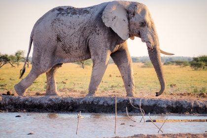 Elephant Walking By The River
