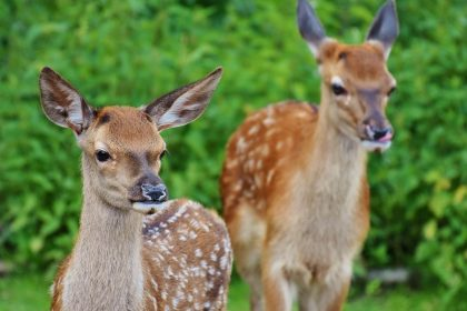 It is told about Gautama Buddha that he spent many lives in animal form, as various animals of the forest, before being born in human form as the prince, Siddhartha of the Sakhya clan. This story is about his life as King of the Deer. Three kings come into our story. One is Brahmadatta, a man, King of Benares, who had a